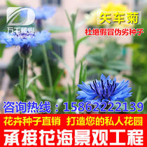 Cornflower perennial flower flowers seeds Four Seasons flower garden flowers sea landscape flowering plant seeds