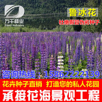 Lupin flower perennial flowers flower seeds Four Seasons planting garden flower sea landscape flowering plant seeds