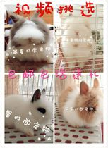 Rabbit Live cat rabbit pet rabbit cover face cat rabbit dodge Dwarf rabbit dutch ear rabbit bag Live