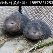 Guilin bamboo rat seedlings live seedlings one male and one female pair of young Chinese bamboo rat rat seedlings breeding Silver Star rat