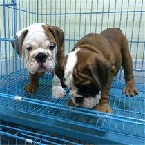 Xinxin House-pure breed British Bulldogs yellow dog house-puppy dog tiger living really small dogs dog