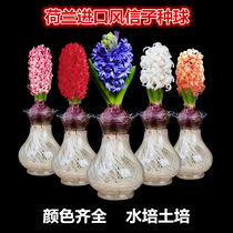 Holland imported hyacinth seed Ball hydroponic set office indoor potted plants Four seasons open flower soil culture package