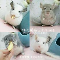 Pet Chinchillas live silver spot purple gray Chinchillas cub powder white Chinchillas baby home breeding store