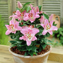 Lily Bulbs 3 ball imported perfume lily flower seeds ball with bud white lily seed perennial bulb root