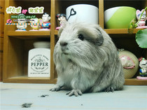 Crown Hair guinea pig baby British Crown Hair carved Gray~milk yellow ~ milk thorn ~ coffee~pure white guinea pig baby