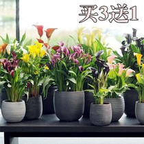 The four-season flowering plant of potted ball-root flowers of the imported color Calla seed with Bud