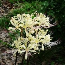 (live) Rare milky Lycoris radiate flower seedlings Four Seasons potted flowers mandala Hua Plants