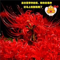 Blood Red Manjusaka The other side flower ball mantra hua safflower stone garlic Seeds Four Seasons potted flowers