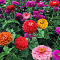 Hundred Day Grass seed hundred day chrysanthemum Four Seasons indoor balcony sowing double flower potted plant flower seed