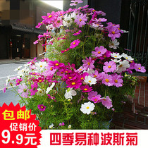 Cosmos seed mixed color easy flower seed indoor balcony Four Seasons flower seed Chrysanthemum potted plant