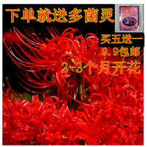 The other side flower ball seed red Manjisahua garlic Four Seasons easy sowing potted flower green plant