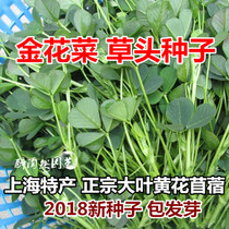 Golden Cauliflower grass head seed three leaf seedling grass big leaf yellow cauliflower alfalfa Shanghai specialty mother trimming Spring Autumn vegetables