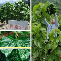 Mulberry seed Big Leaf Strong Mulberry 1th # 2nd Four Seasons planting Mulberry seed to raise sericulture seeds