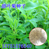 Stevia seeds stevia vanilla seeds stevia leaf herbal tea balcony floral seeds native purebred