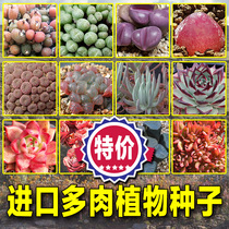(Drunken flower) South Africa import number raw stone flower multi-meat plant Seeds Fairy cup view day ebony black ebony sauce