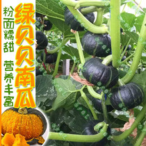 Green babe mini pumpkin Seeds Japanese imported chestnut flavor fragrant glutinous powder sweet non-GMO farm Four Seasons broadcast