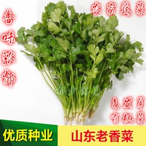 Shandong old coriander seed farm coriander rapeseed authentic old variety balcony Garden Four Seasons vegetable seeds