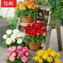 Two parts buy three get one Israeli imported seed flower Mao leaf Peony 3 pack Autumn sowing