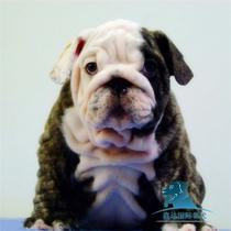 British Bulldog white bull puppy Tiger Dog live purebred pet puppy dog