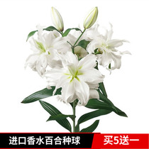 Imported perfume Lily Big seed ball heavy flap flower seedlings with bud seed Four Seasons Flower indoor garden green planting potted plant
