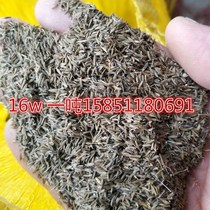 Dandelion new bulk seeds wild edible Four seasons 500 grams of medicinal herbs mother-in-law yedoensis