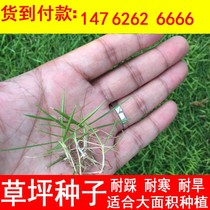 Turf Seeds Dog Root import Four Seasons Green slope protection grass Bermuda Grass seed green turf seeds