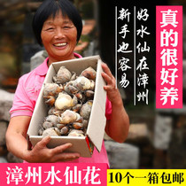 Authentic Zhangzhou daffodils seed ball potted winter flower plant hydroponic indoor floral seed water ball root