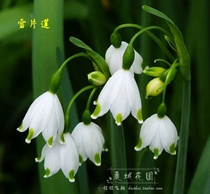 (spot) Dutch imported seed ball (Snowflake lotus) Snow dripping flower perennial ball root flower G40