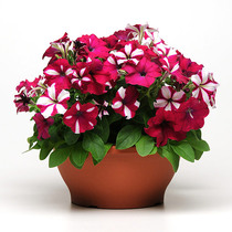 Imported Dwarf seeds Four Seasons Xiachun autumn sowing indoor balcony potted flower seed flower seeds