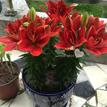 Chochowa House asian Lily Bulbs Dwarf No fragrant potted series of more than 3 grain stock