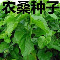 Hybrid Mulberry seed of Mulberry Nongsang 12th # 14 Tea Sandayesan Mulberry Feed