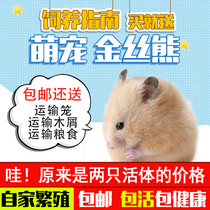 Two price packed giant hamster live cubs golden bear live pet bear supplies snowball.