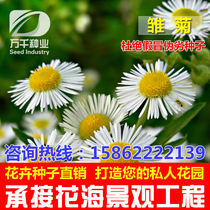 Daisy Perennial flowers flowers flower seeds Four Seasons planting garden flower sea landscape flowering plant seeds