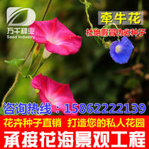 Morning Glory perennial flowers flowers flower seeds Four Seasons garden flowers sea landscape flowering plant seeds
