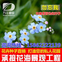 Forget-me-forget perennial flowers and flowers seeds Four Seasons flower garden flowers sea landscape flowering plant seeds
