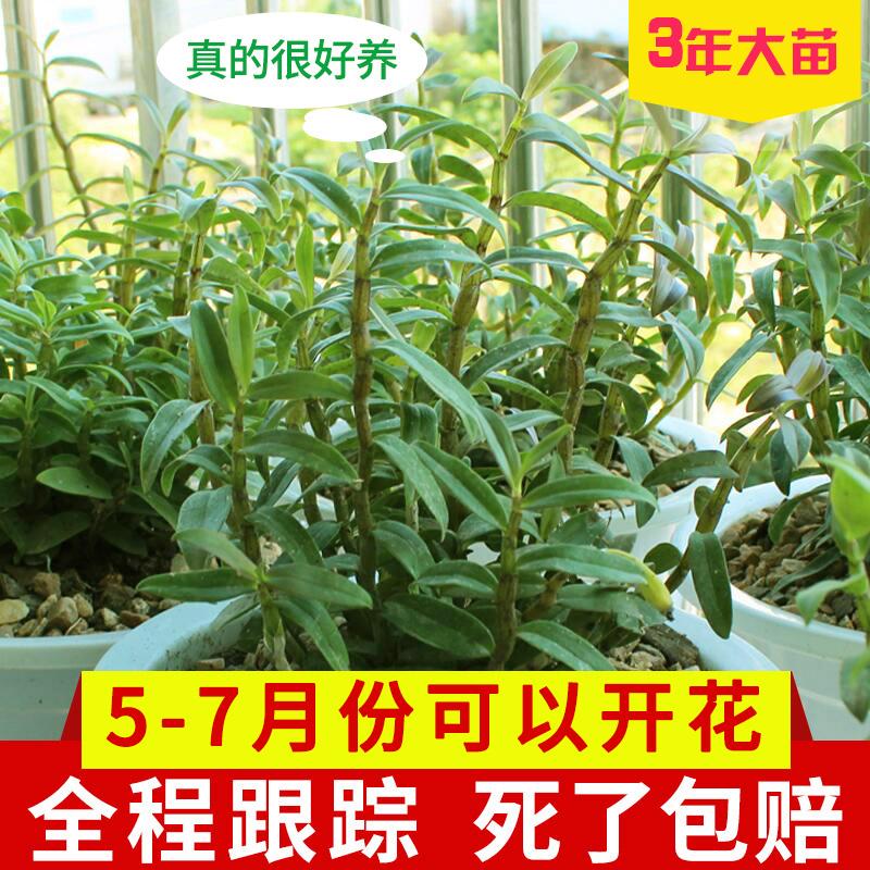 ★江楠枫 铁皮石斛苗 水培植物盆栽 7.9元包邮(需用券)